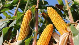 De nieuwe Rassenlijsten mais