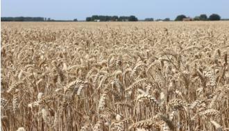 Tarwe op tarwe: speel op zeker