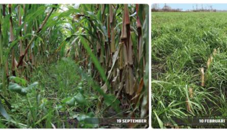Vanggewas na maïs om N-uitspoeling te voorkomen